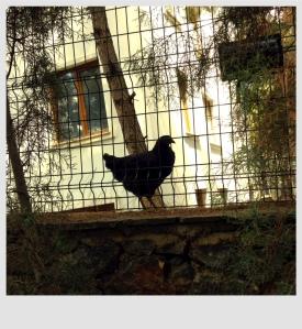 Yan bahçedeki kara tavuk